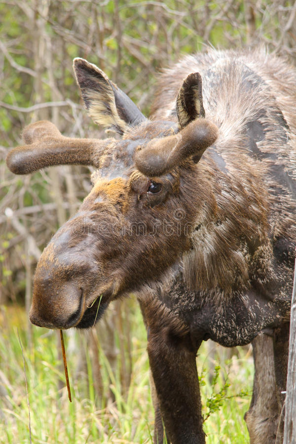 Moose with Velvet Antlers. A scruffy spring moose shows his velvet antler development in Algonquin Park, Ontario - Canada royalty free stock images