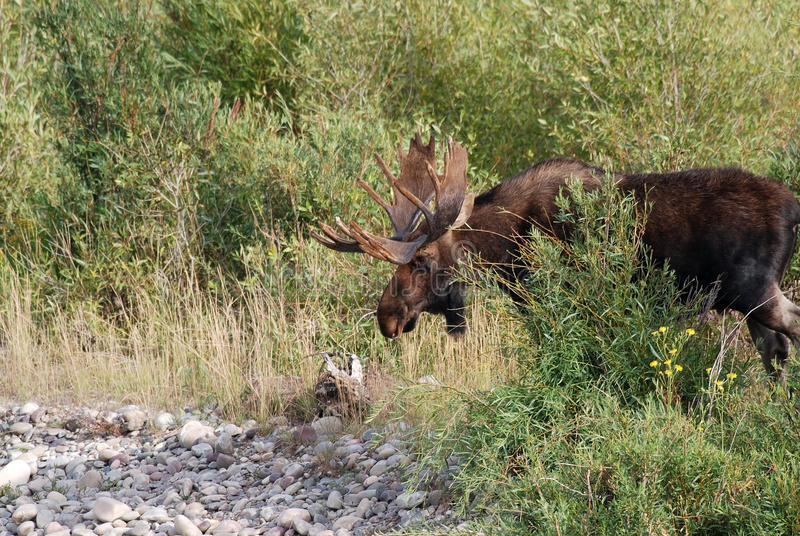 Bull Moose in Willow Thicket