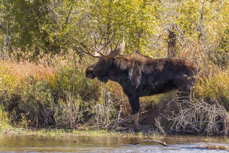 Bull Moose in the Fall Rut in Wyoming. A bull moose in Wyoming during the fall rut stock photo