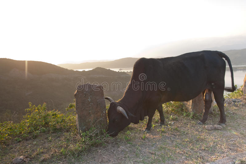 Bull In Mountain Stock Photo
