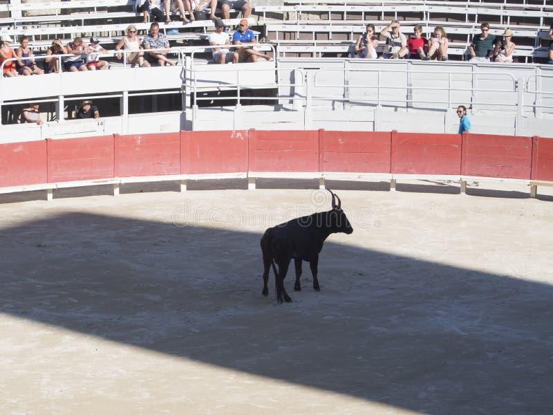 Bull na arena imagem de stock