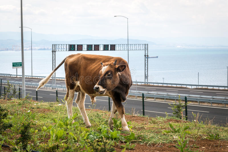 Bull near Osman Gazi Bridge in Kocaeli, Turkey. Kocaeli, Turkey - September 03, 2016: New bull is grazing grass near the newly constructed Osman Gazi Bridge royalty free stock image
