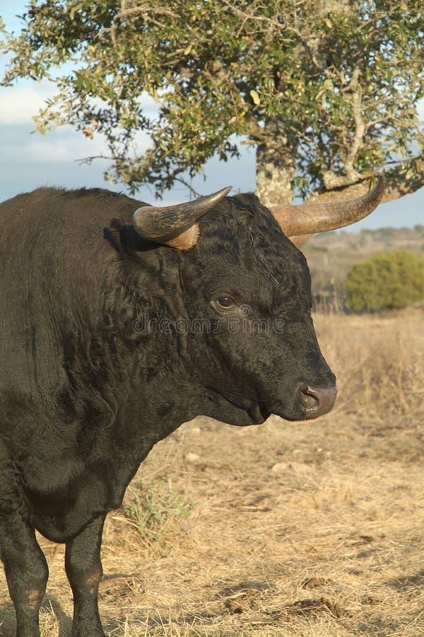 Bull nero fotografie stock libere da diritti
