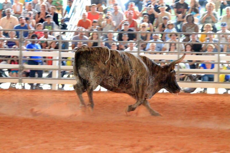 Bull no rodeio imagens de stock royalty free