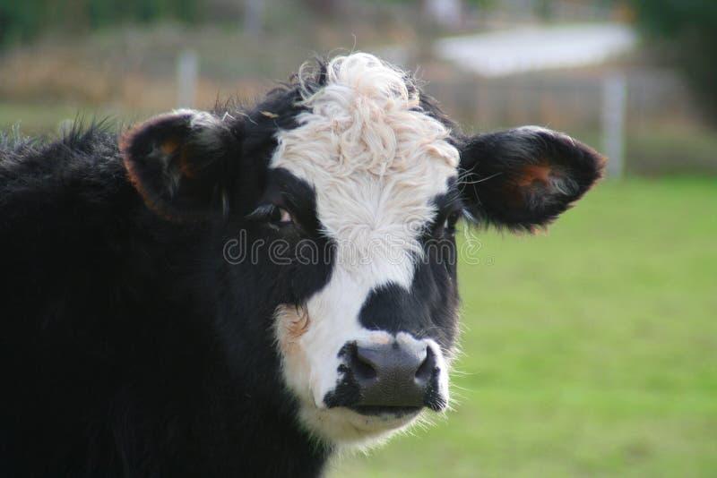 Bull ou vache ? photo libre de droits