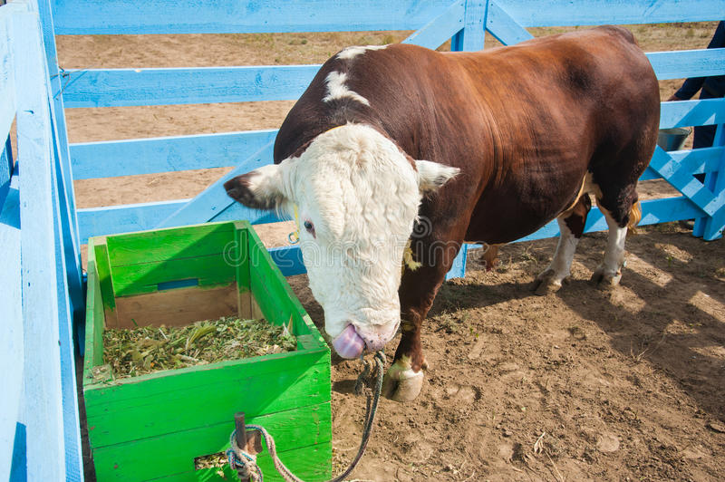 Bull in the paddock stock photography