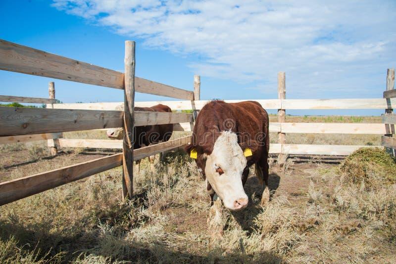 Bull in the paddock stock photo