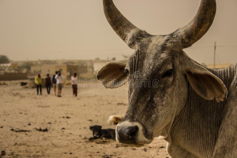Bull royalty free stock photo