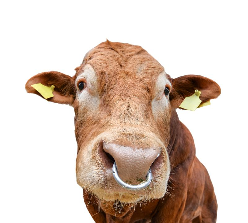 Bull portrait with nose ring isolated on white. Beautiful big brown bull close up. Farm animals. Beef cattle isolated on white.  stock photography