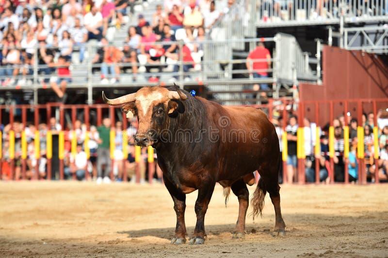 Bull que corre en buillring español fotografía de archivo libre de regalías