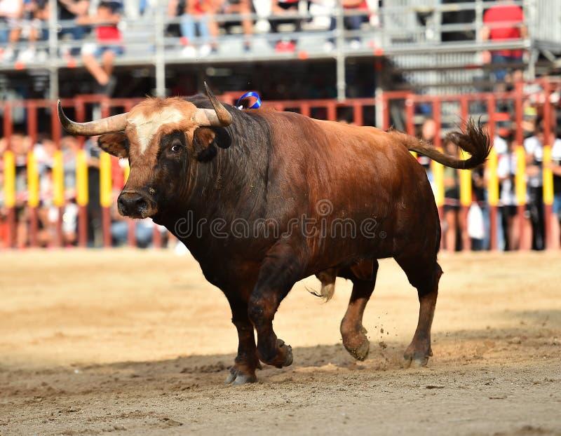Bull que corre en buillring español imagen de archivo libre de regalías