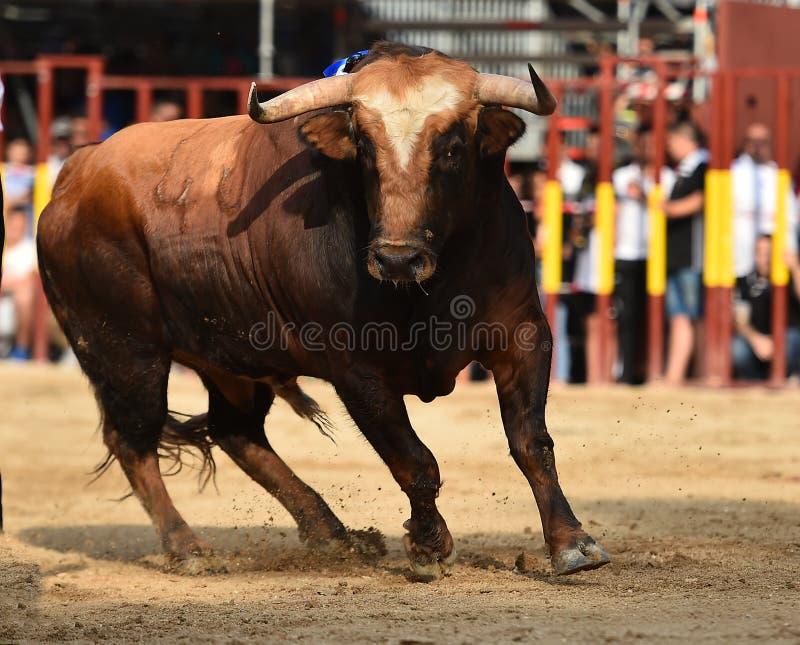 Bull que corre en buillring español imágenes de archivo libres de regalías
