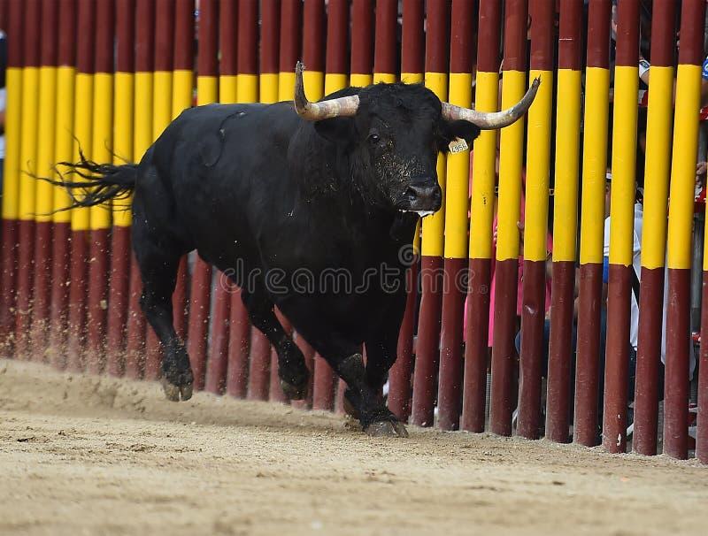 Bull que corre en buillring español foto de archivo
