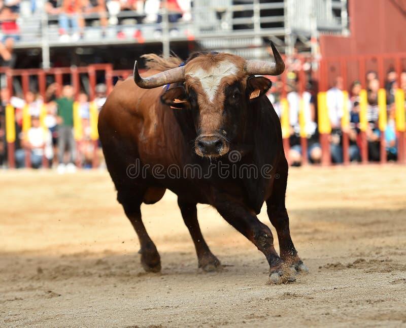 Bull que corre en buillring español imagen de archivo