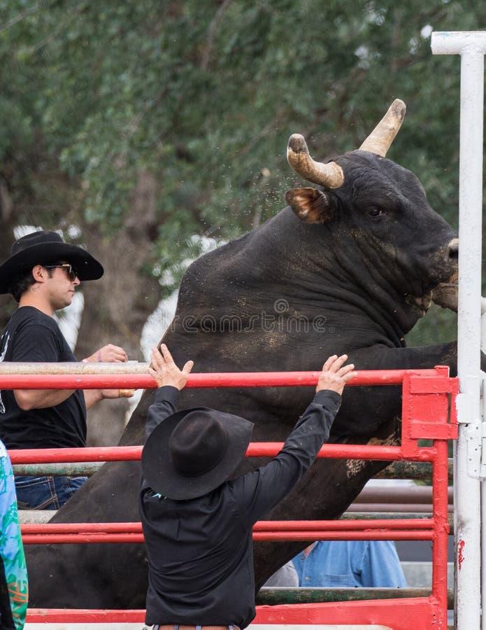 Bull salvaje imagenes de archivo