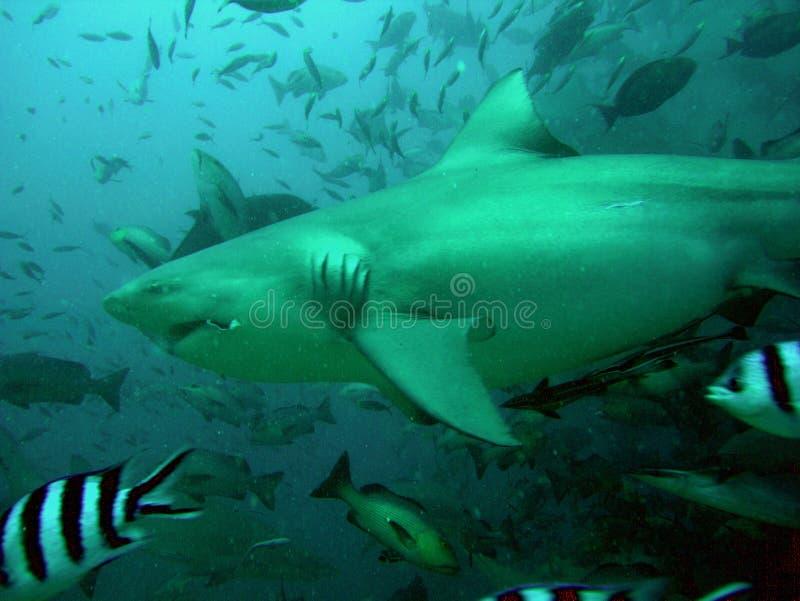 Bull Shark stock photography