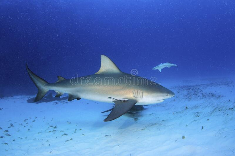 Bull Shark royalty free stock images