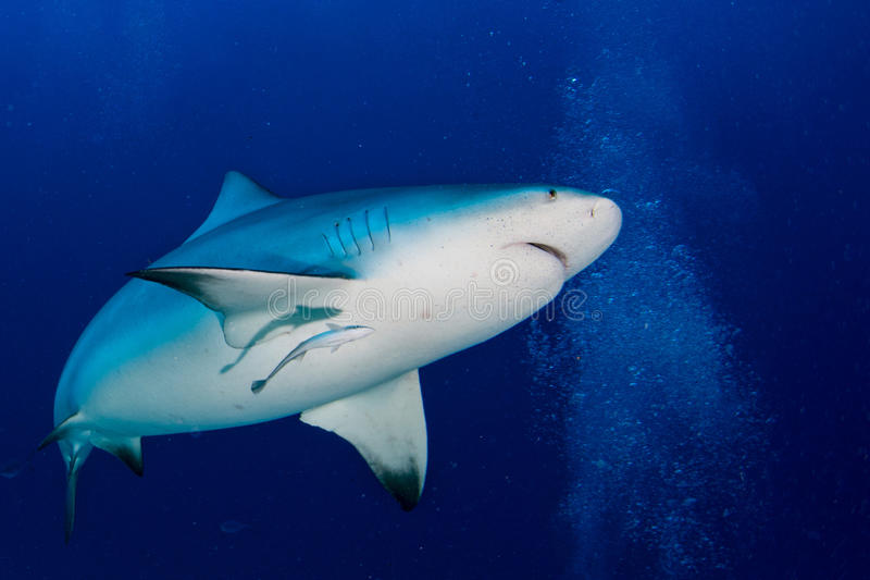 Bull shark ready to attack in the blue ocean background stock image