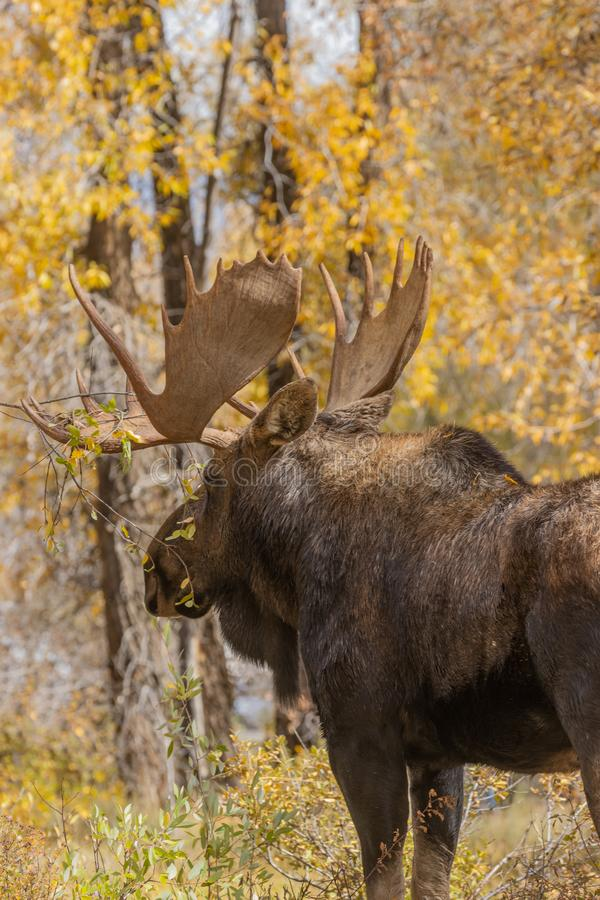 Bull Shiras Moose in Autumn. A bull shiras moose in autumn in Wyoming royalty free stock photo