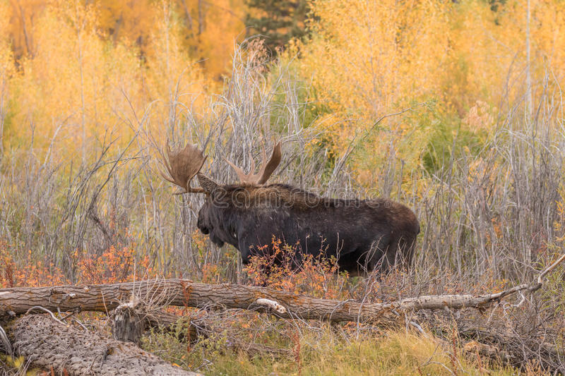Bull Shiras Moose in Autumn. A bull Shiras moose during the fall rut in Wyoming royalty free stock photography