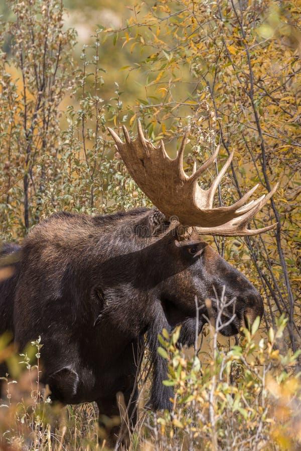 Bull Shiras Moose in Autumn Portrait. A bull shiras moose in the fall rut in Wyoming stock image