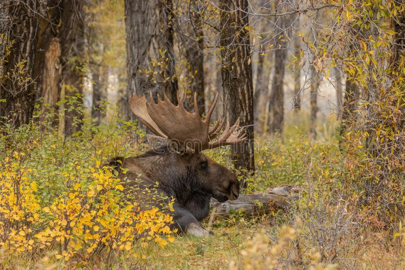 Bull Shiras Moose Bedded in Autumn. A bull shiras moose in autumn in Wyoming royalty free stock image