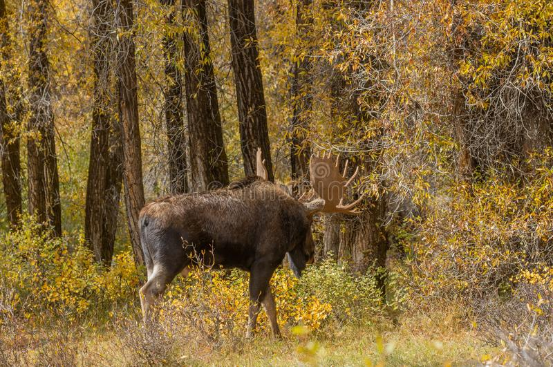 Bull Shiras Moose in Fall in Wyoming. A bull shiras moose in autumn in Wyoming royalty free stock images