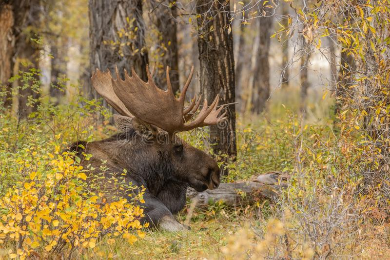 Bull Shiras Moose Bedded in Autumn. A bull shiras moose in autumn in Wyoming royalty free stock photo