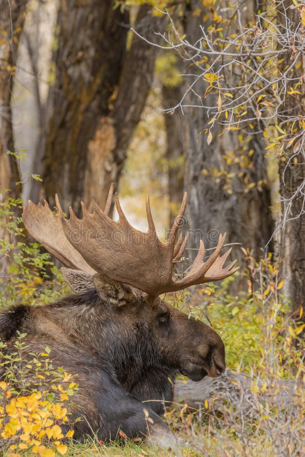 Bull Shiras Moose Bedded in Fall. A bull shiras moose in autumn in Wyoming stock photography