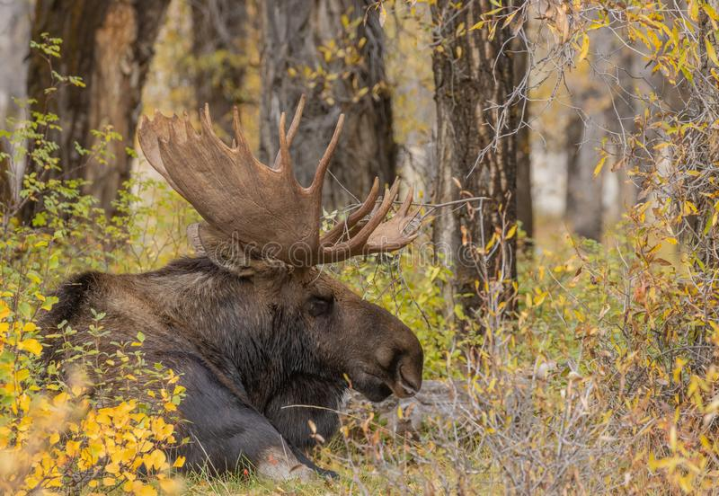 Bull Shiras Moose Bedded in Fall. A bull shiras moose in autumn in Wyoming stock photos