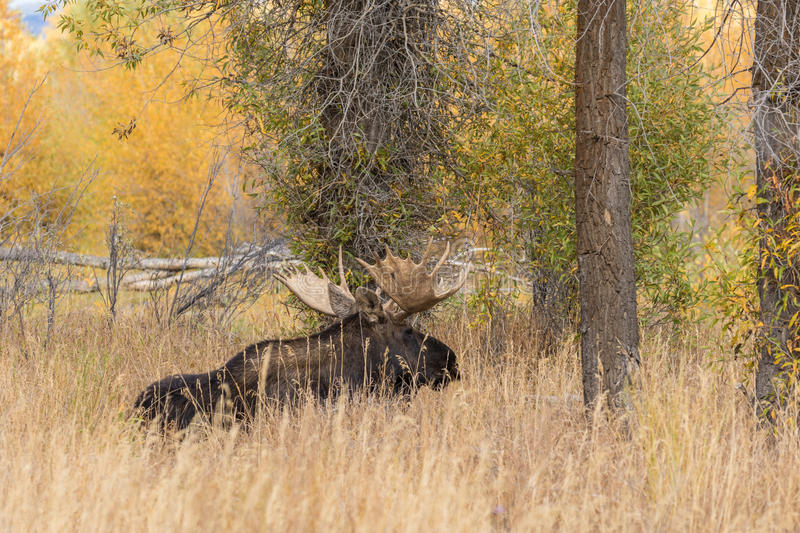 Bull Shiras Moose Bedded. A bull shiras moose bedded during the fall rut royalty free stock image