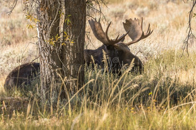 Bull Shiras Moose Bedded in Wyoming in Fall. A bull shiras moose bedded in the fall rut in Wyoming stock image
