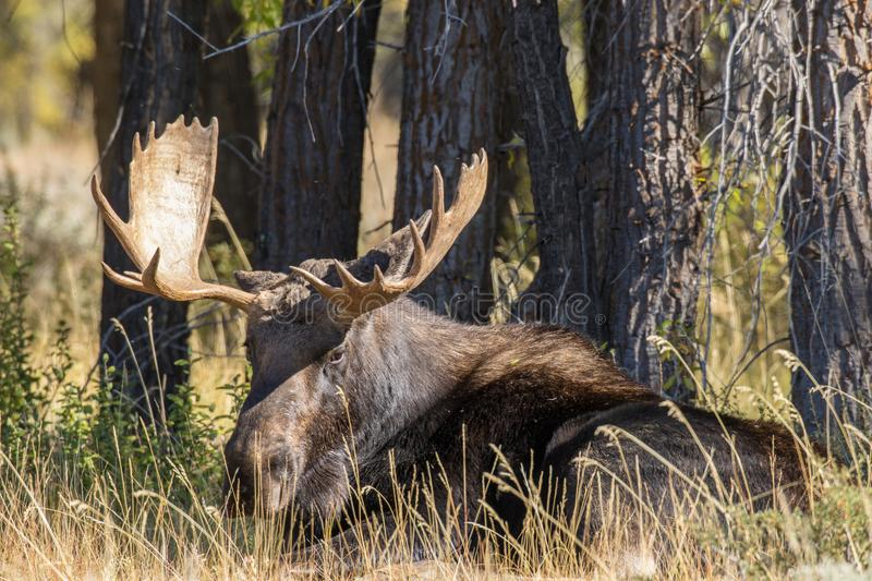 Bull Shiras Moose Bedded. A bull shiras moose bedded in Wyoming in fall stock photos