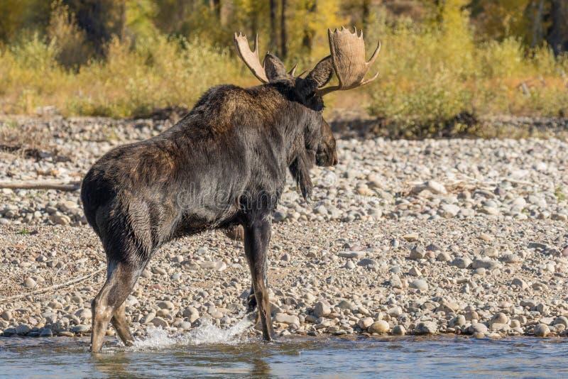 Bull Shiras Moose Crossing River. A bull shiras moose crossing a river during the fall rut in Wyoming royalty free stock image