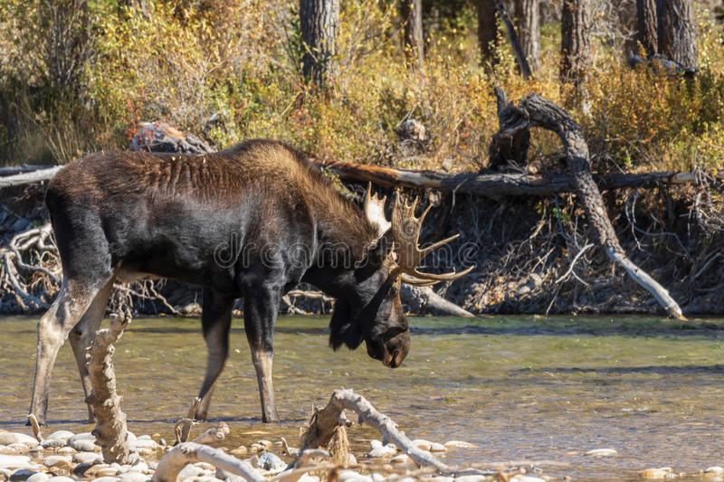 Bull Shiras Moose Crossing a River in Fall. A bull shiras moose crossing a river during the fall rut in Wyoming royalty free stock photography