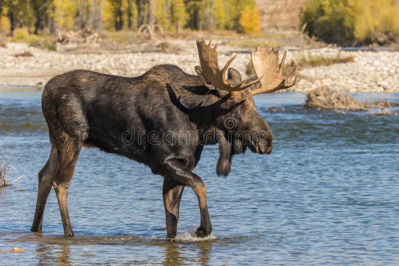 Bull Shiras Moose Crossing River in the Rut. A bull shiras moose crossing a river during the fall rut royalty free stock photography