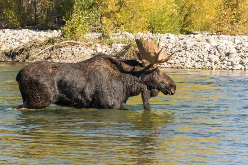 Bull Shiras Moose Crossing River in the Rut. A bull shiras moose crossing a river during the fall rut stock photography
