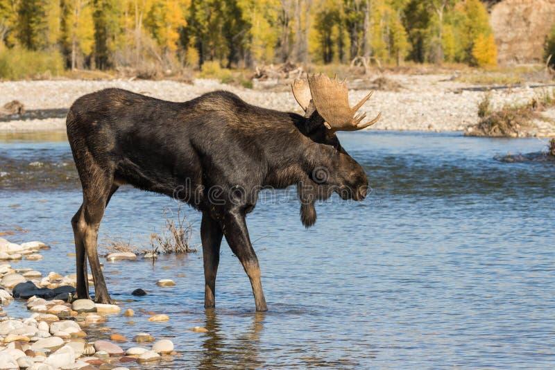 Bull Shiras Moose in River in the Rut. A bull shiras moose crossing a river during the fall rut stock photo