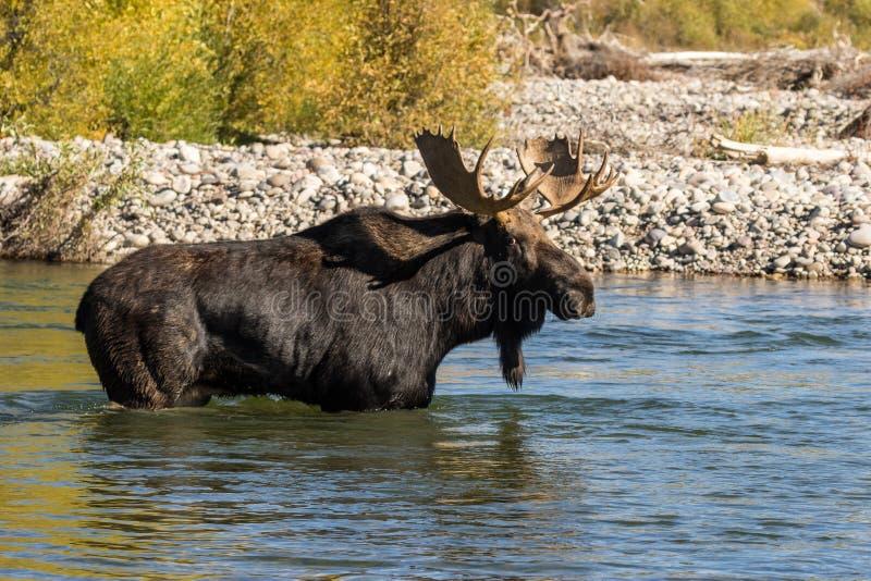 Bull Moose Crossing River in Fall. A bull shiras moose crossing a river during the fall rut in Wyoming stock images