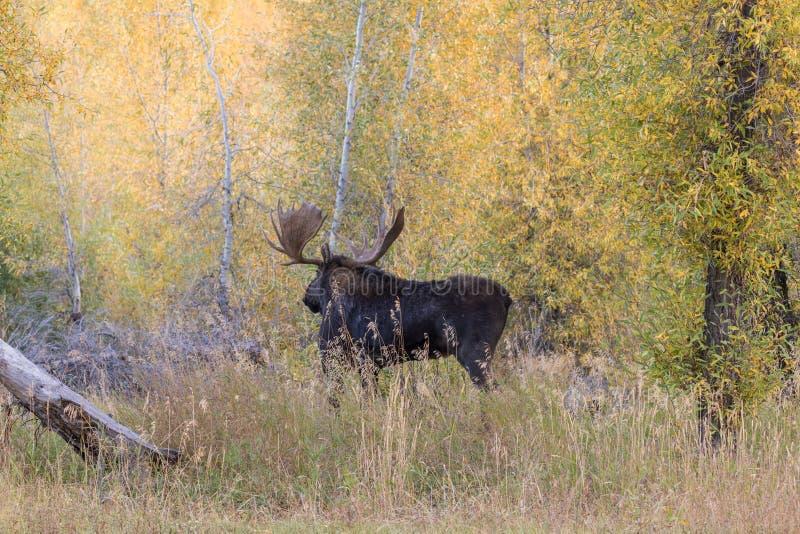 Bull Shiras Moose in Fall. A big bull shiras moose in the fall rut in Teton National Park Wyoming royalty free stock photo