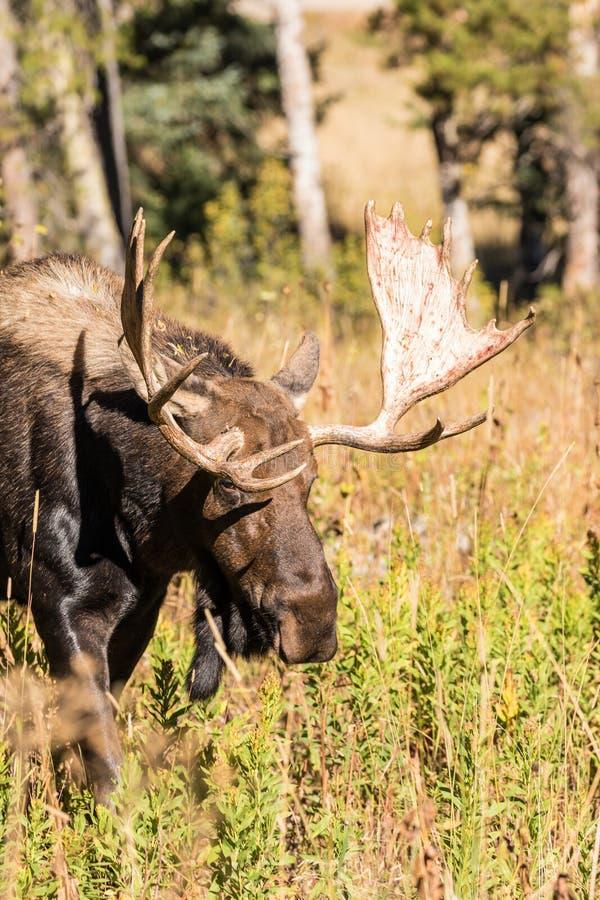 Bull Shiras Moose. A bull moose during the fall rut stock image