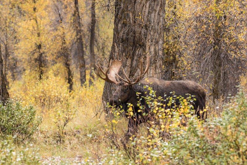 Bull Shiras Moose in Fall. A bull shiras moose in the fall rut stock photography