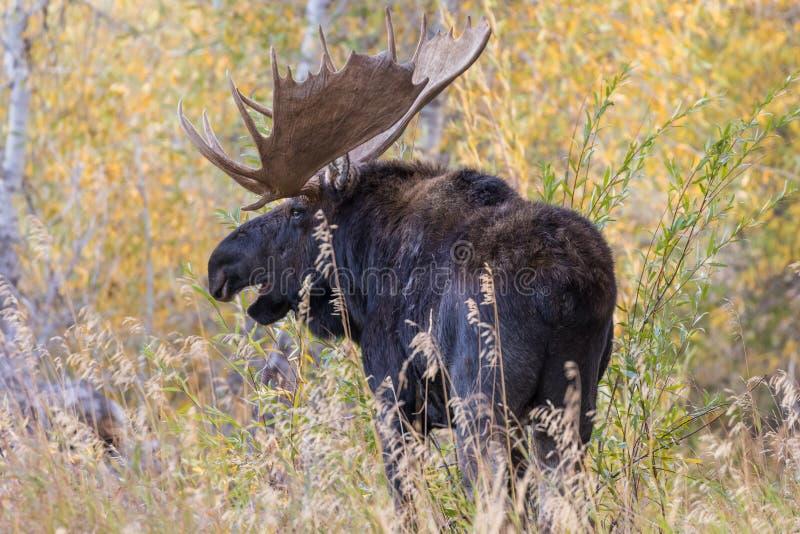 Bull Shiras Moose in the Fall Rut stock photos