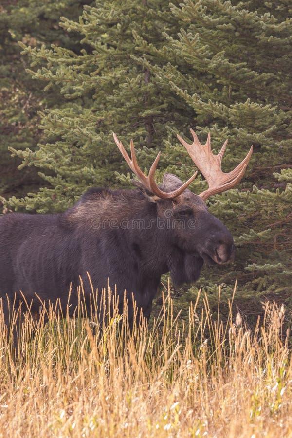Bull Shiras Moose During the Fall Rut. A bull shiras moose in the fall rut in Wyoming royalty free stock images
