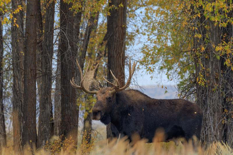 Bull Shiras Moose in Autumn in Wyoming. A bull shiras moose during the fall rut in Wyoming stock images