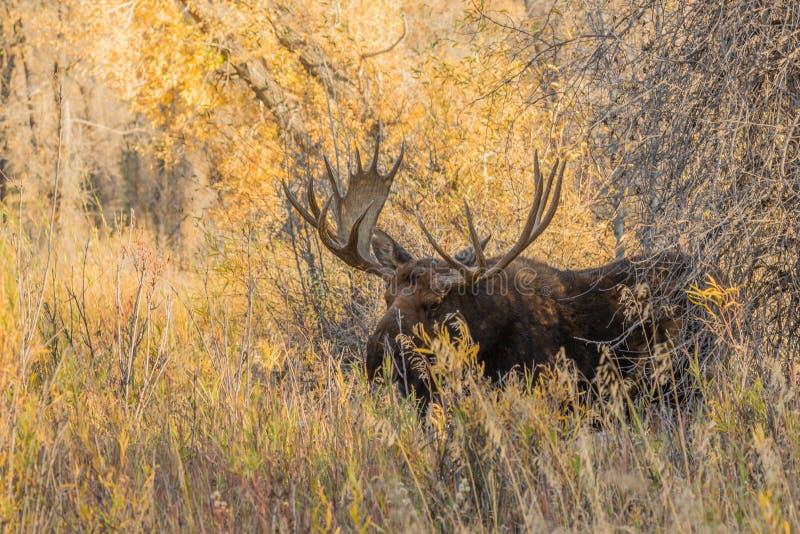 Bull Shiras Moose in Fall stock photo