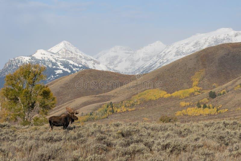 Bull Shiras Moose in Grand Teton National Park in Autumn stock photography