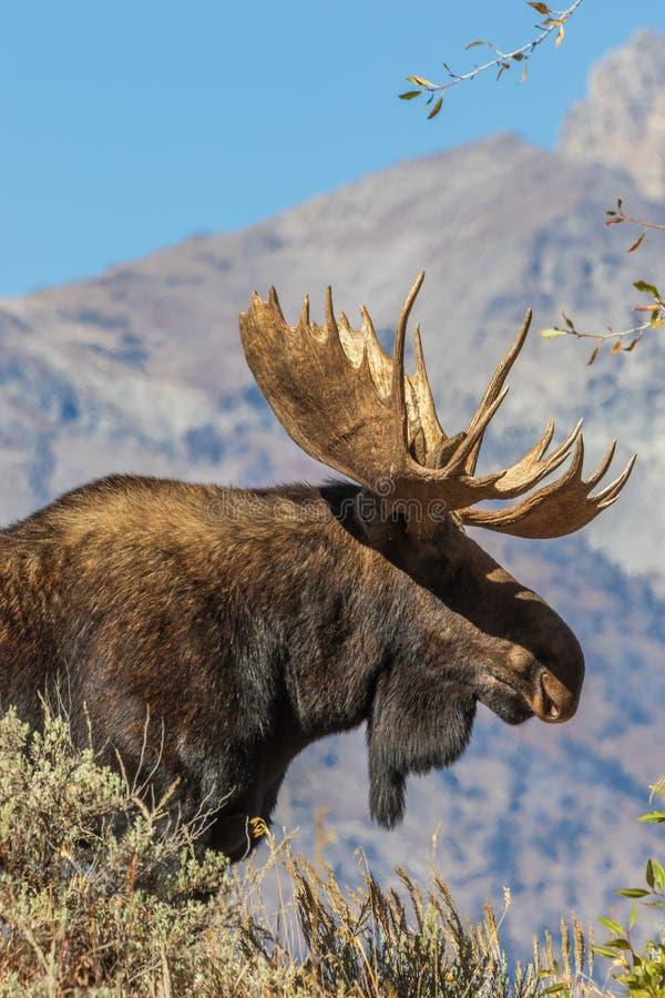Bull Shiras Moose Portrait. A bull shiras moose in the Tetons during the fall rut royalty free stock image