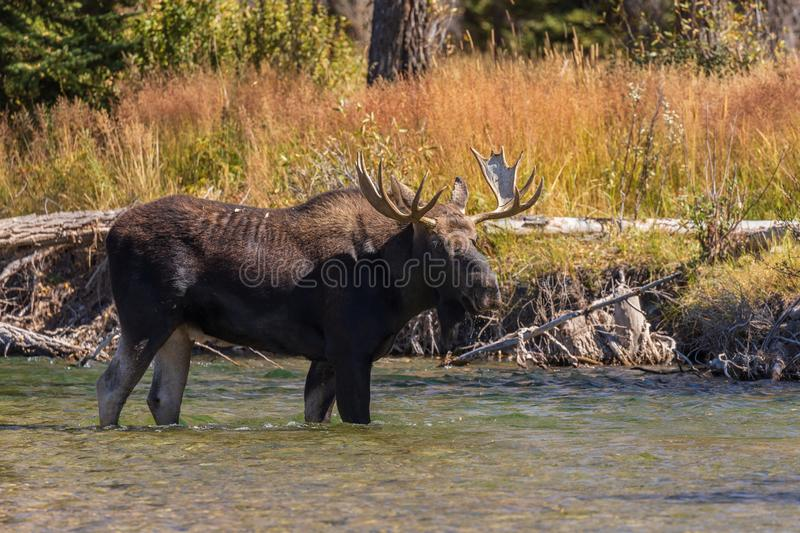 Bull Shiras Moose in River in the Fall Rut. A bull shiras moose in a river during the fall rut in wyoming royalty free stock images