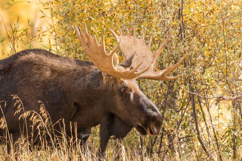Bull Shiras Moose in Rut. A big bull shiras moose in fall in Teton National Park Wyoming royalty free stock photo